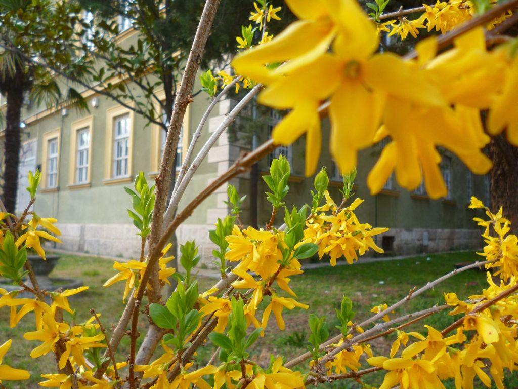 Форзиция. Весна в Мостаре. Фото: Елена Арсениевич, CC BY-SA 3.0