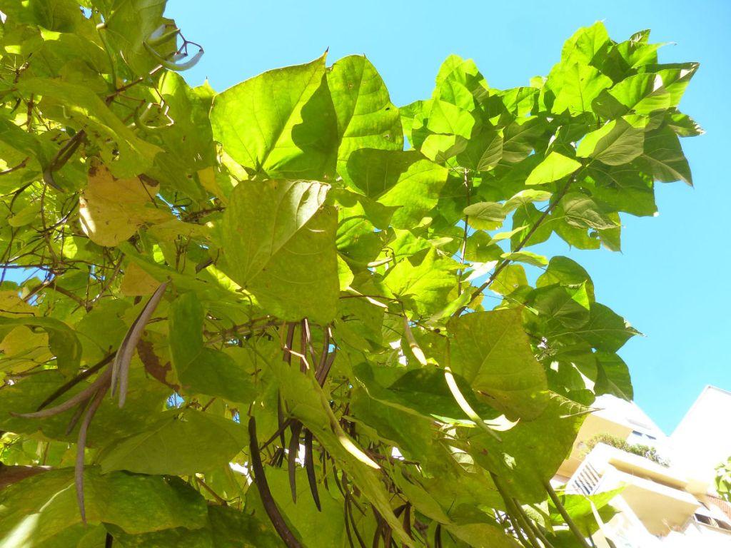 Плоды и листья катальпы осенью. Фото: Елена Арсениевич, CC BY-SA 3.0