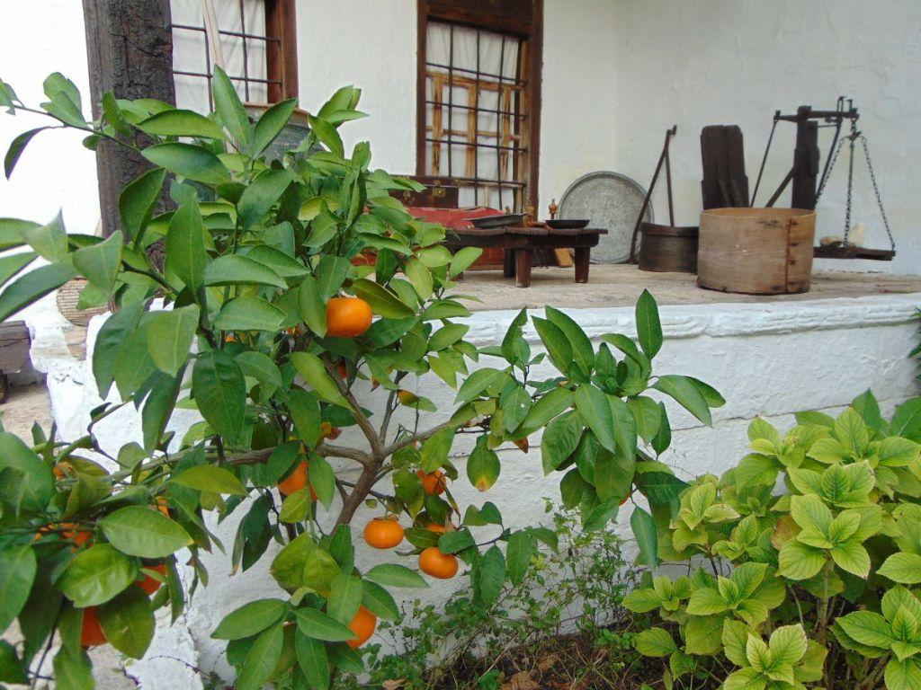 Мандарины во дворе дома Кайтаза. Фото: Елена Арсениевич, CC BY-SA 3.0