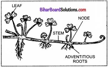 Bihar Board Class 11 Biology Chapter 5 पुष्पी पादपों की आकारिकी