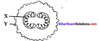 Bihar Board 12th Biology Objective Answers Chapter 1 जीवों में जनन 2