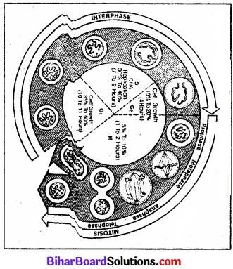 Bihar Board Class 11 Biology Chapter 10 कोशिका चक्र और कोशिका विभाजन
