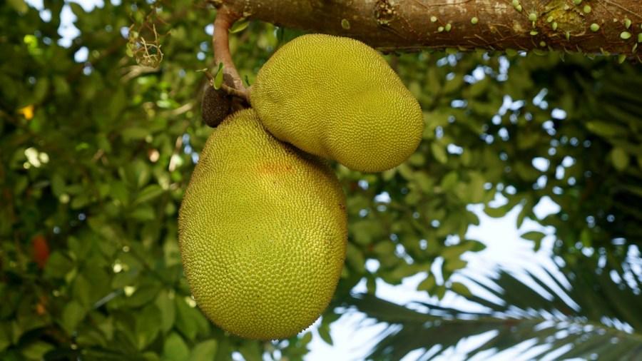 Jackfruit aan de boom