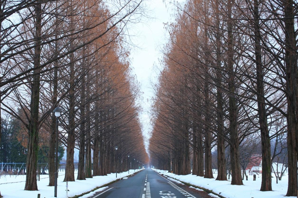 滋賀県高島市メタセコイヤ並木 冬 雪 寒い 道路