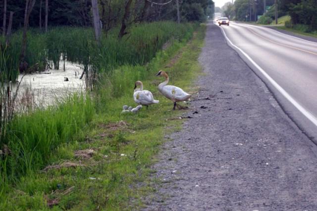 Heart Lake Road Trumpeter Swans