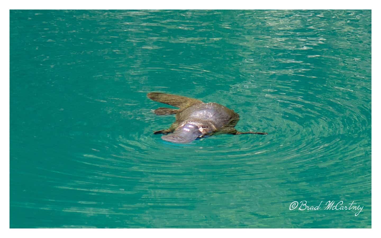 Blue Lake, Blue Mountains NP platypus