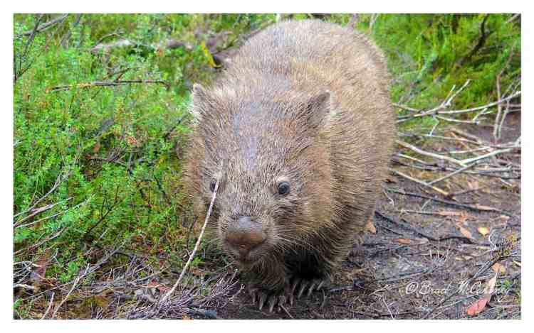 Wombat on the trail