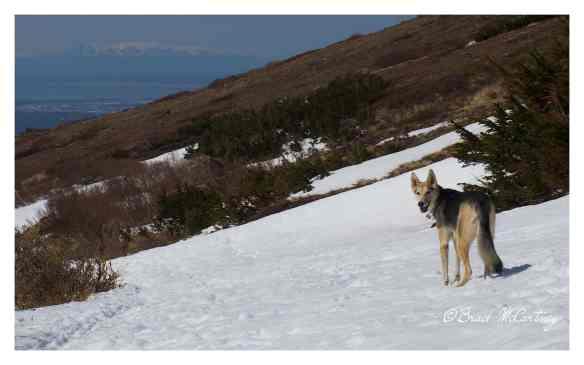 Hannah the Alaskan sled dog