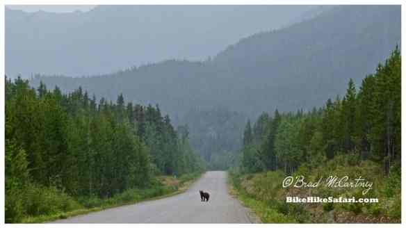 This Bear refused to get off the road, no matter how much yelling / shouting and waving of my hands. Eventually I waited for an RV escort, just in case!