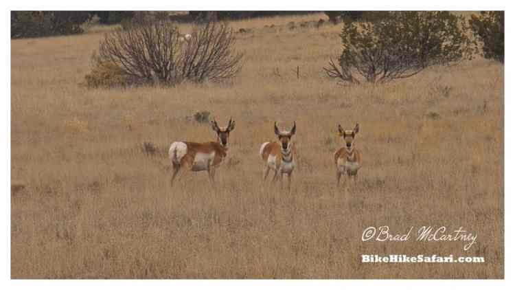Pronghorn Antelope, second fastest animal in the world behind the cheetah according to some sources!