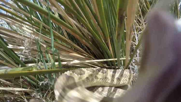 Rattlesnakes attack