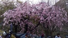 竹橋の枝垂れ桜1