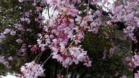 竹橋の枝垂れ桜2