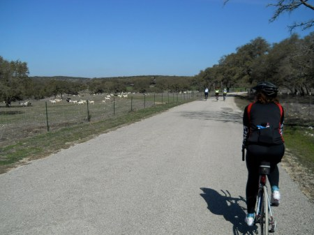 A herd of goats dashes away from a herd of cyclists.