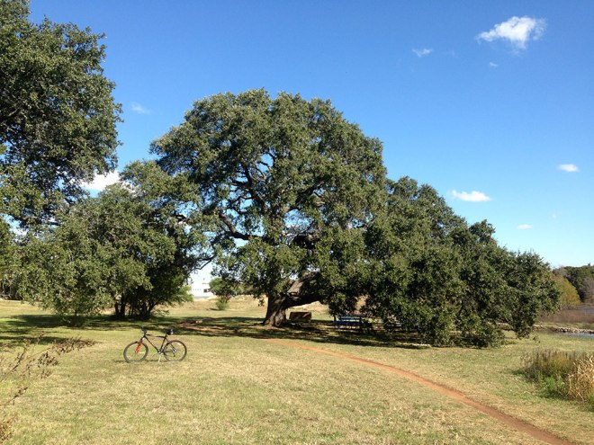 """Along my route is this huge spreading live oak that is dubbed """"The Learning Tree,"""" because it can shelter an entire class of school children (Note the tables). The trail heading past the tree was damp, but not muddy."""