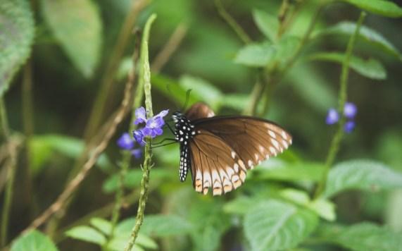 Vietnamský motýl na cestě do Hai Van Passu
