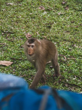 Monkey in the camp at Khao Yai NP