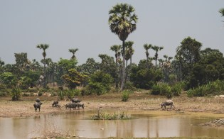Bůvoli poblíž města Siem Reap