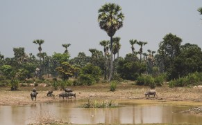Buffalos near Siem Reap