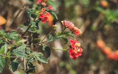 Spring Flower, Kathmandu Valley