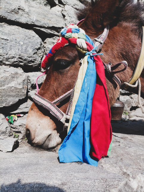 Oslík. Dharapani, Nepál