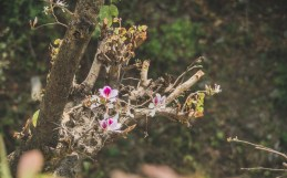 Rhododendron in Bloom, Nepal