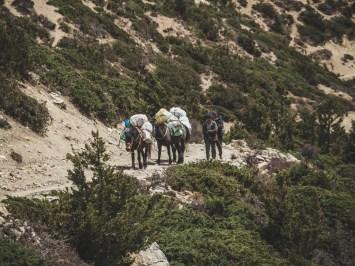 Donkeys. Gunsang, Nepal