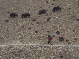 Porter and yaks. Tilicho Basecamp, Nepál