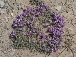 Alpine flowers. Pamir, Tajikistan