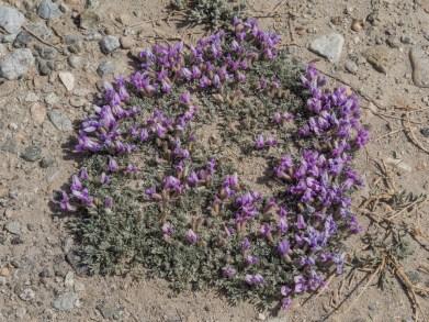 Alpské tykičky. Pamír, Tádžikistán