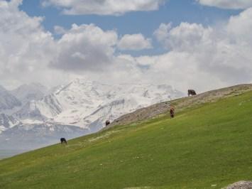 Cows and mountains. Sary-Tash, Kyrgyzstan