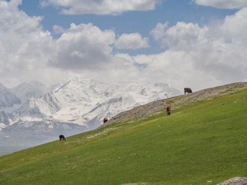 Krávy a hory. Sary-Tash, Krygyzstán