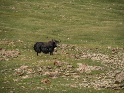 Poslední yak, kterého jsme viděli. Oblast Tosor Pass, Kyrgyzstán
