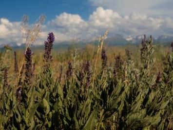Luční květy. Oblast Karakol, Kyrgyzstán