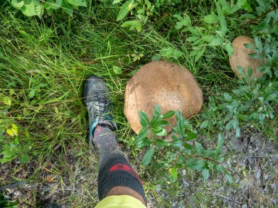 Gigantic mushrooms on a roadside. Oulu, Finland