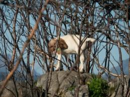 A little goat. Vesterålen, Norway