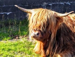 vache écossaise highland