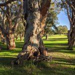 Paperbarks - Centennial Park