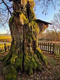 Fairytale oak