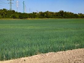 Fields of onions
