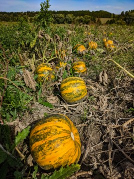 Pumpkins ready for picking
