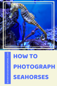 How to photograph seahorses