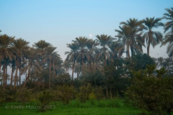@manzoor_chandio Guava and date orchard in Larkana Photo by @EmilyHauze who recently came to Sindh from the USA