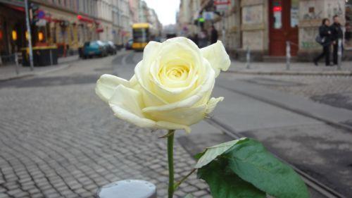 weiße Rose an Rothenburger/Ecke Louisenstraße - anklicken zum Vergrößern