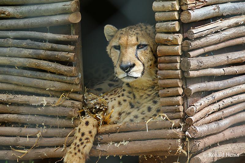 Total entspannt — Gepard und Jaguar