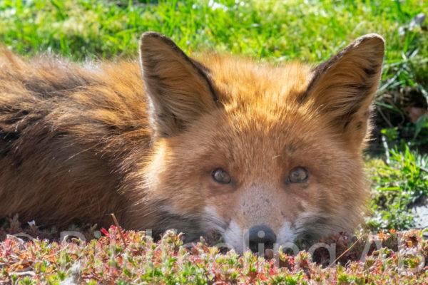 Räven vilar i gräset