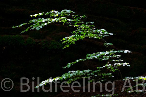 Lövverk i skog