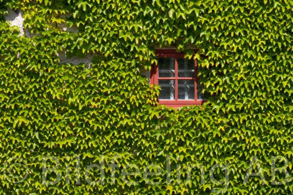 Murgröna på husfasad