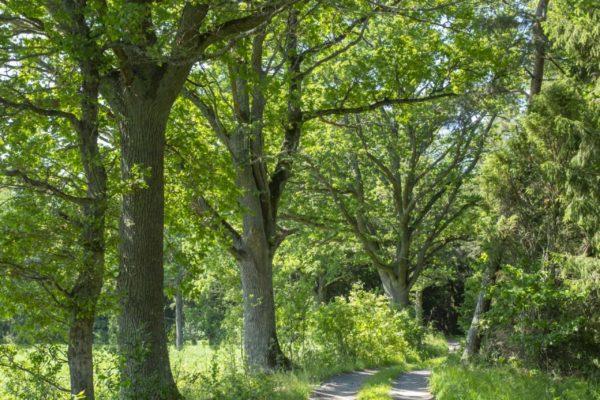 Skogsväg vid åker