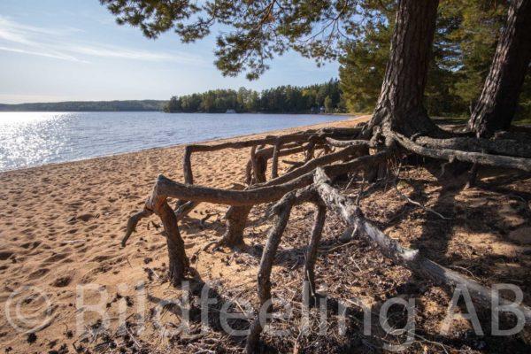 Tallrötter vid sjöstrand